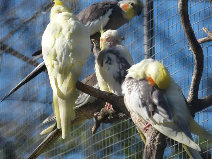 All preening themselves - hard to take a photo through the wire
