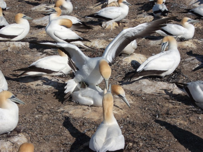 Grabone: A tractor ride then quite a hike to see the gannets