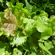 Lettuce planted in the garden