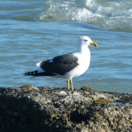 Seagull atop an old concrete retaining block on foreshore