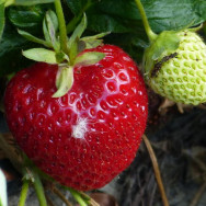 The Strawberry Patch, Havelock North