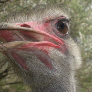 Eye to eye with an Ostrich